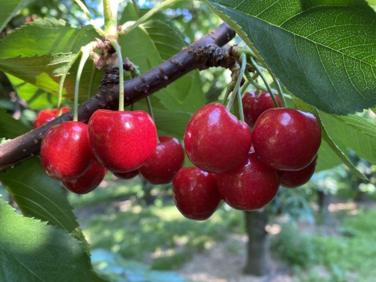 blue-canoe-cherry-orchard